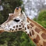 Valójában nem egy, hanem négy zsiráffaj létezik