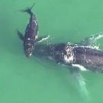 Borja mentette meg a bajba jutott hosszúszárnyú bálnát