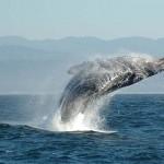 Ismét kudarcba fulladt a több millió négyzetkilométeres bálnarezervátum létrehozása