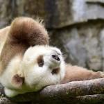 A nehézségeket leküzdve, boldogan éli mindennapjait a világ egyetlen barna pandája