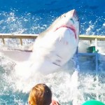 Félelmetes találkozás – betört egy nagy fehér cápa a búvár ketrecébe