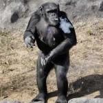 Napi egy doboz cigarettát szív el az észak-koreai állatkert csimpánza
