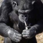 Photo: Napi egy doboz cigarettát szív el az észak-koreai állatkert csimpánza
