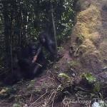 Először filmezték le, ahogy a vadon élő csimpánzok eszközhasználatra tanítják kölykeiket