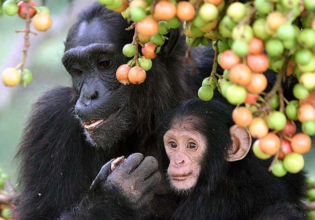 csimpanzok-2