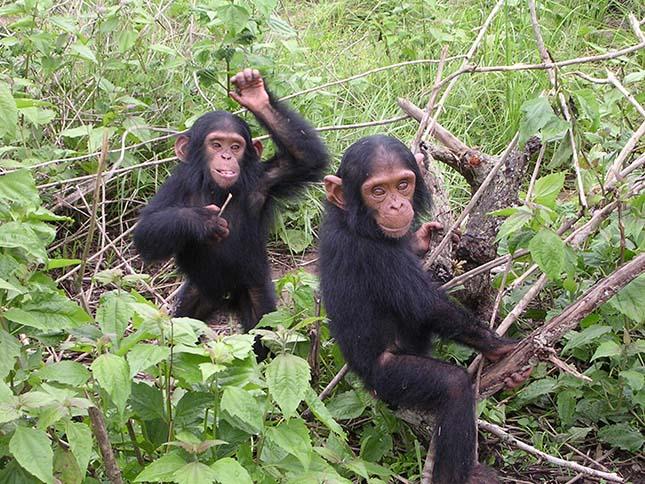 csimpanzok