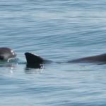 Kevesebb mint 60 kaliforniai disznódelfin maradt a világon