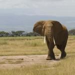 Csaknem 70 százalékkal csökkent a vadállatállomány Kenyában
