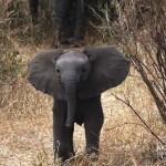 Így védelmezte anyját a bátor kiselefánt