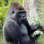 Megszökött a londoni állatkert egyik gorillája