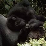 Öt éven belül kihalhat a keleti síkvidéki gorilla