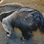Először született sörényes hangyász a Fővárosi Állat- és Növénykertben