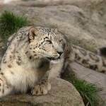 Évente több száz hópárducot ölnek le orvvadászok és bosszúálló állattenyésztők