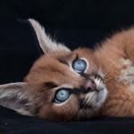 Karakál – az egyik legszebb macskaféle