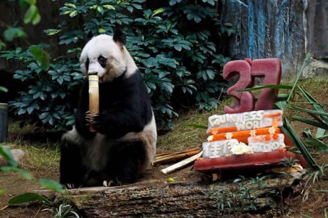 legidosebb-panda