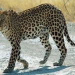 Photo: A vadászat miatt halhat ki több száz veszélyeztetett szárazföldi emlősfaj