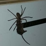 Photo: Egy egeret vonszolt magával az éhes vadászpók