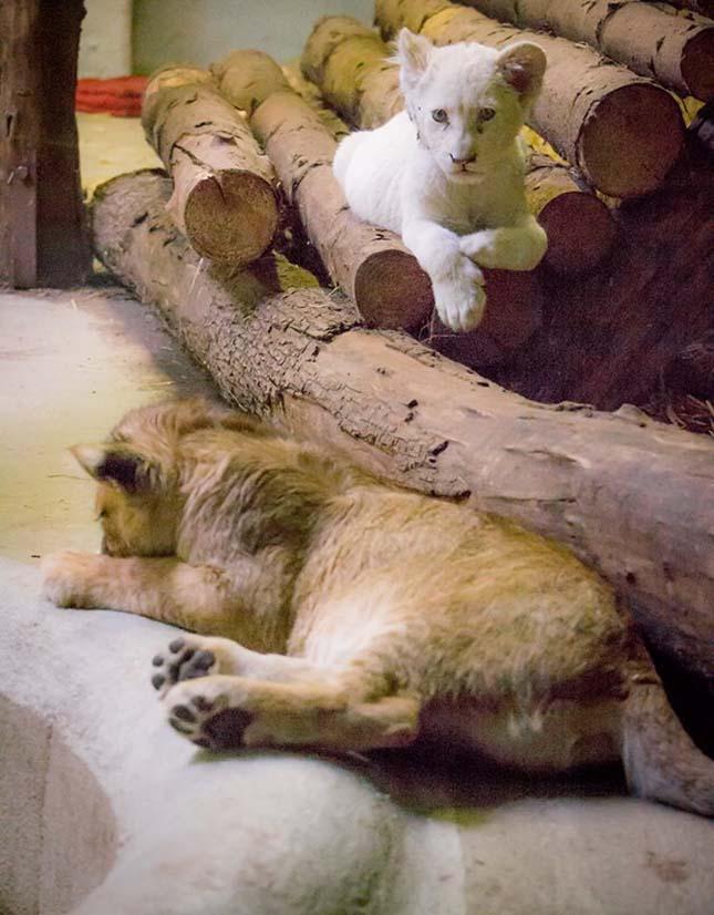 kis-oroszlanok-4