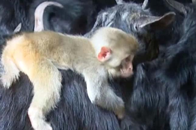majom-es-kecskek-2