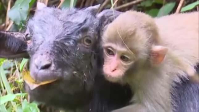 majom-es-kecskek