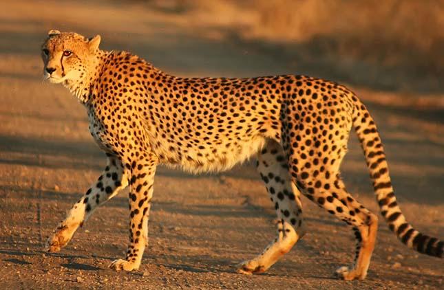 gepard-3