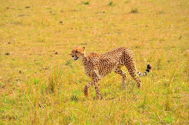 gepard-5