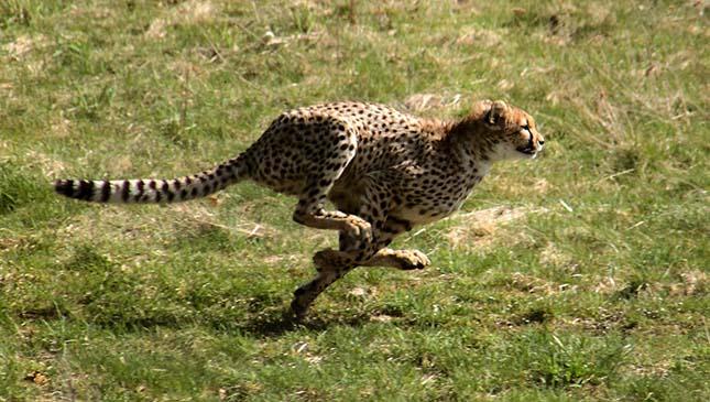 gepard-8