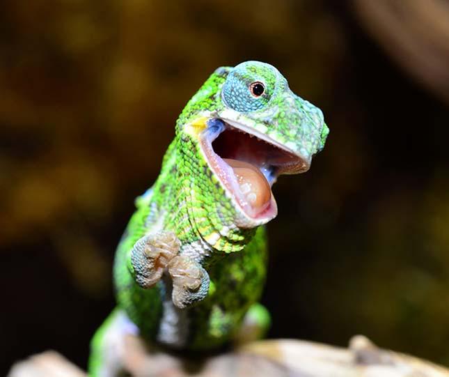 kis-kameleon-2