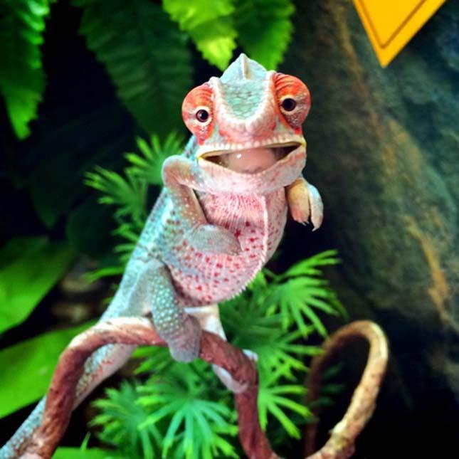 kis-kameleon