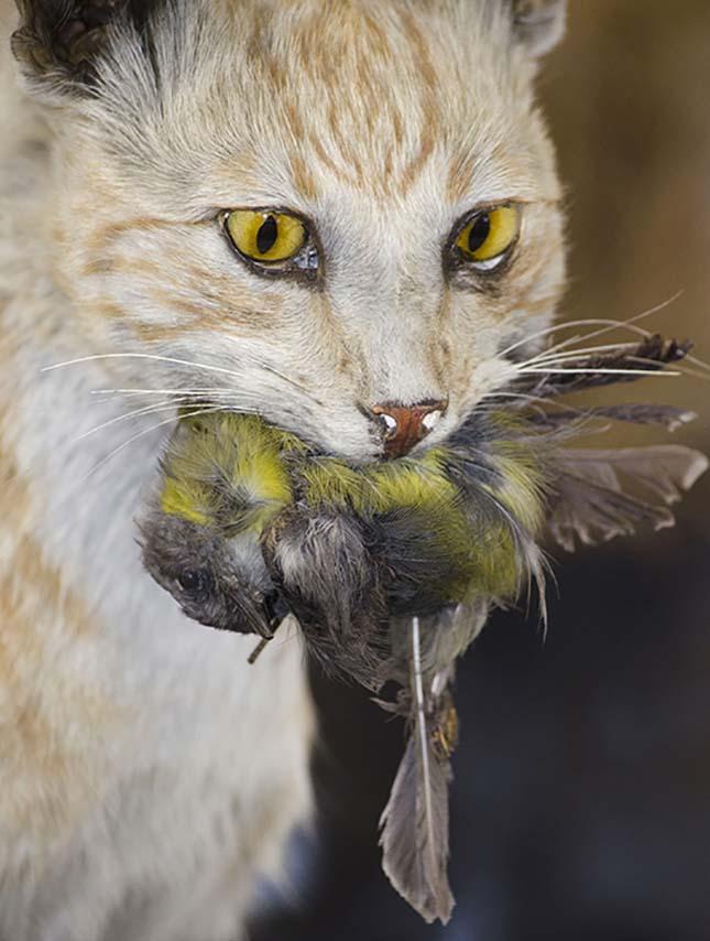 elvadult-macska-2