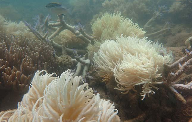 korallzatony