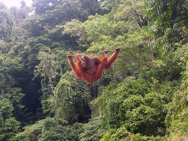 orangutan-2 (1)