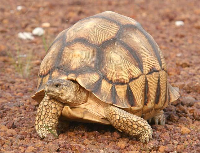 Angonoka teknős