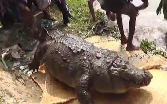Halálra etették a 100 éves krokodilt