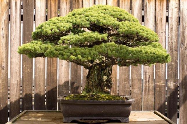 A 390 éves bonszai, ami túlélte Hirosimát is