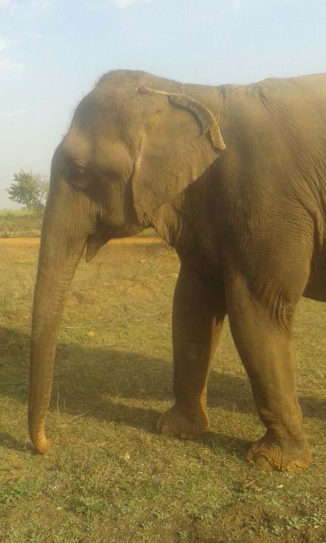 Kiszabadított elefánt
