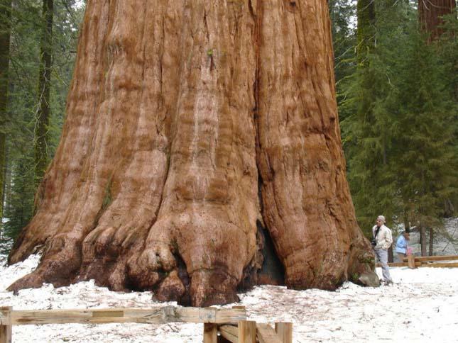 Sherman tábornok fája, a legnagyobb fa a világon