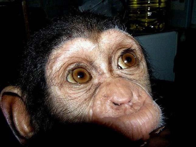 Masztiff kutya fogadott örökbe egy csimpánzkölyköt