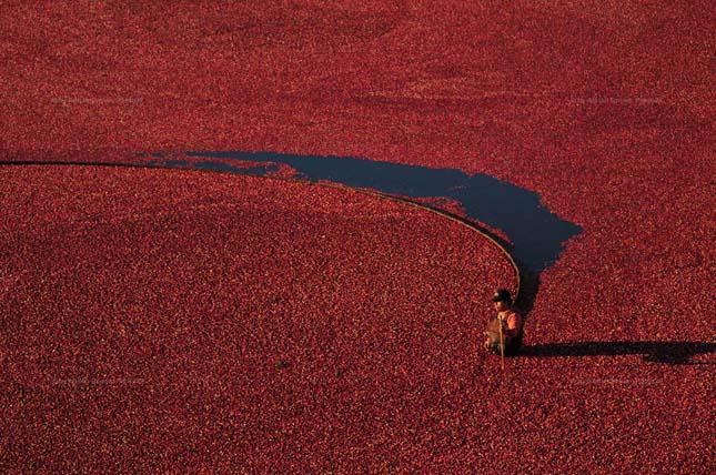 Vörös áfonya betakarítása