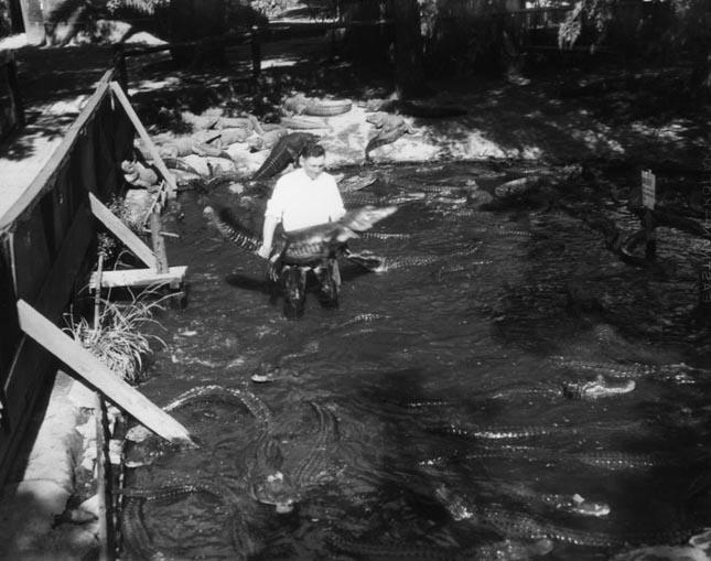 Aligátorfarm az 1920-as években
