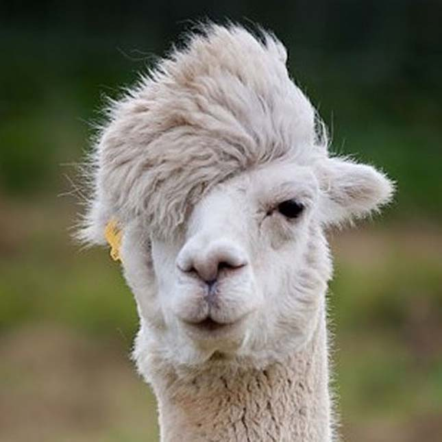 Állati frizurák