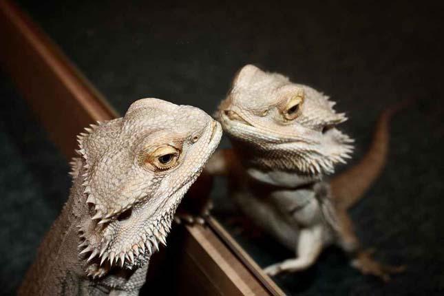 Állatok reakciója a tükörképükre