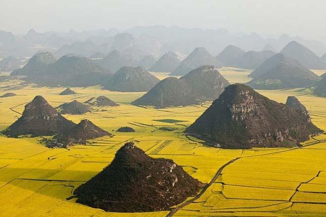 Kínai aranysárga mező