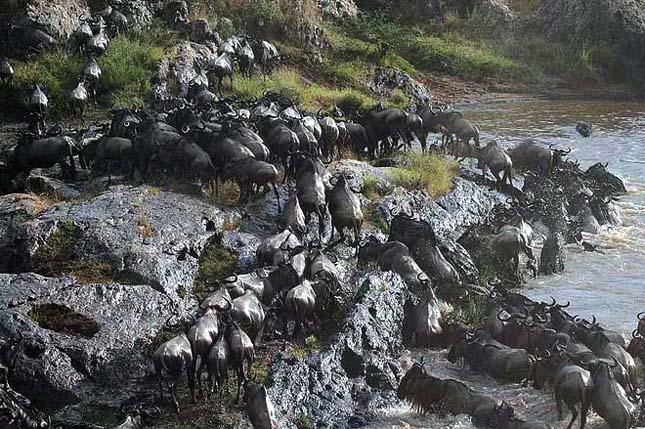 Veszélyes és halálos átkelés a nagy Mara folyón