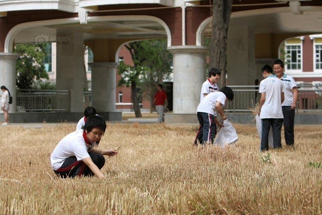 Gabona betakarítás egy kínai iskolában
