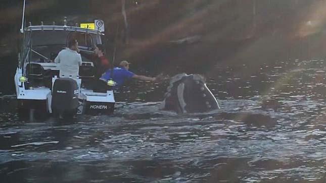 Segítséget kért a bálna