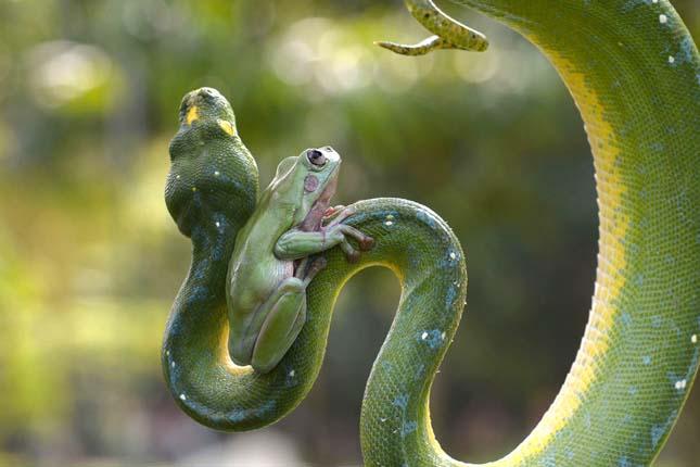 Béka és kígyó