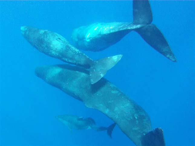 Ámbráscetek fogadták be a beteg delfint