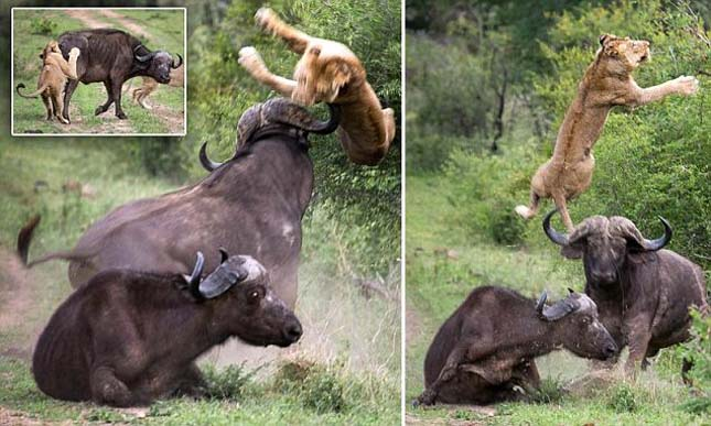 A bivaly a levegőbe repítette az oroszlánt