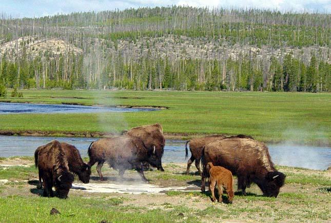 Bölények a Yellowstone Nemzeti Parkban